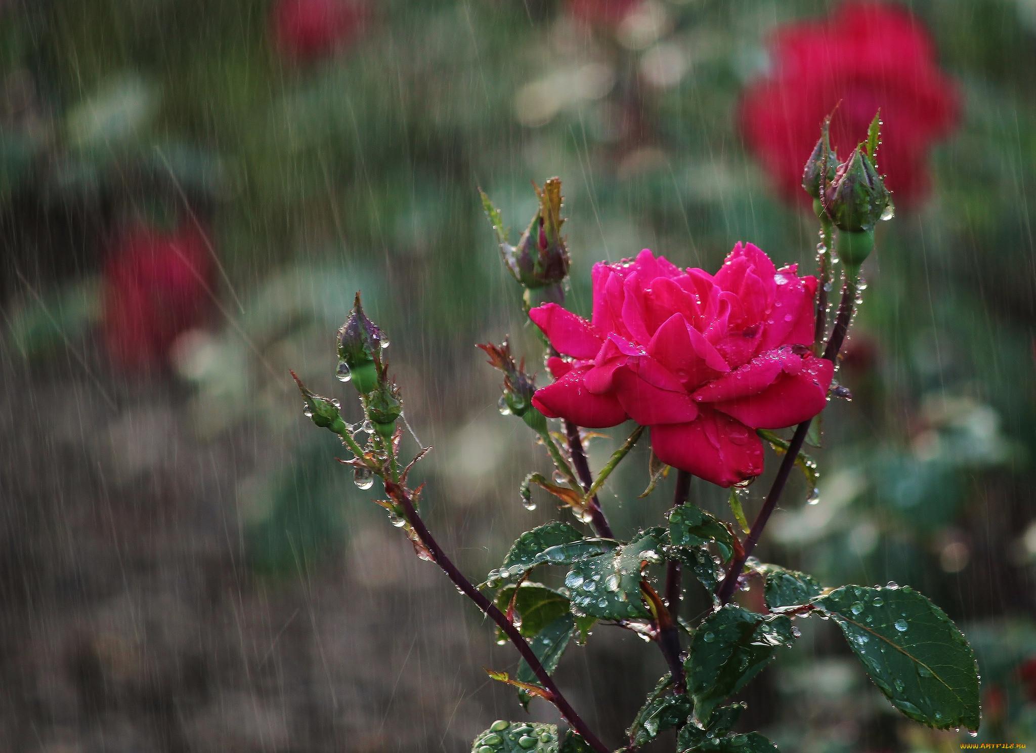 розы под дождем фото минувшую